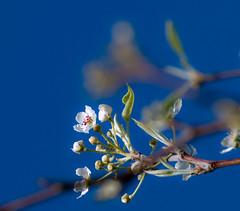 And the sky is blue.... (nippak) Tags: california flowers flower northerncalifornia asian japanese spring asia blossom  sakura  whiite asianflower whitesakura asiantouch