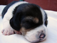 Topito (Yo Lau) Tags: dog beagle puppy perro cachorro