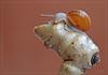 SNAIL IN RED (Siprico - Silvano) Tags: canon snail natura macros lumaca potofgold macrofotografia cernuscosulnaviglio macrofografia buzznbugz siprico fotografianaturalistica soloreflex pricoco wwwsipricoit httpwwwsipricoit silvanopricoco wwwpricocoorg