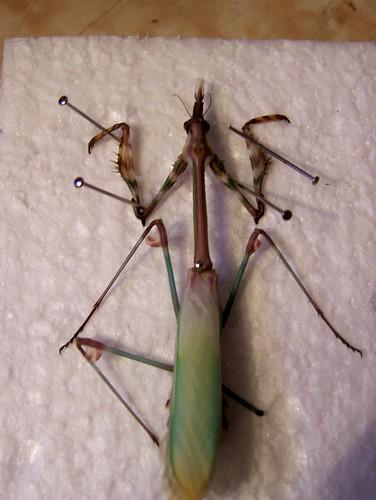 Mantis in praying sex position