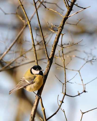 great tit posing
