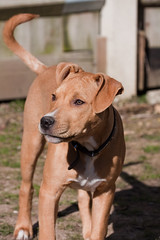 Charley #1 (chrisvinten) Tags: dogs puppy funny terrier staffodshire staffodshirebullterrier