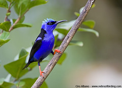 Red-legged Honeycreeper - Cyanerpes cyaneus