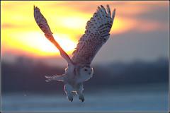 Owl (Snowy) - 1845 (Earl Reinink) Tags: flight raptor snowyowl snowyowlinflight earlreinink wwwearlreininkcom wwwipaintca snowyowlinthesunset