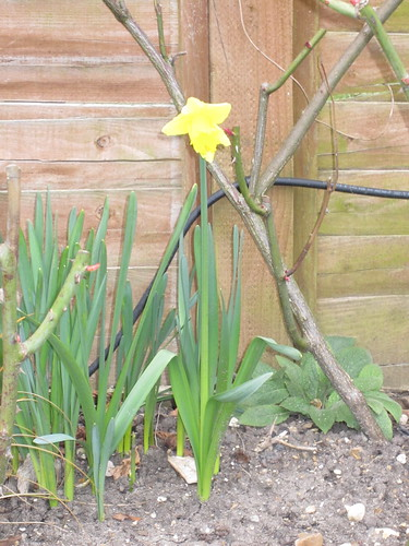 Back garden's first daffodil