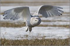 Owl (Snowy) - 1854 (Earl Reinink) Tags: flight raptor snowyowl snowyowlinflight earlreinink wwwearlreininkcom wwwipaintca