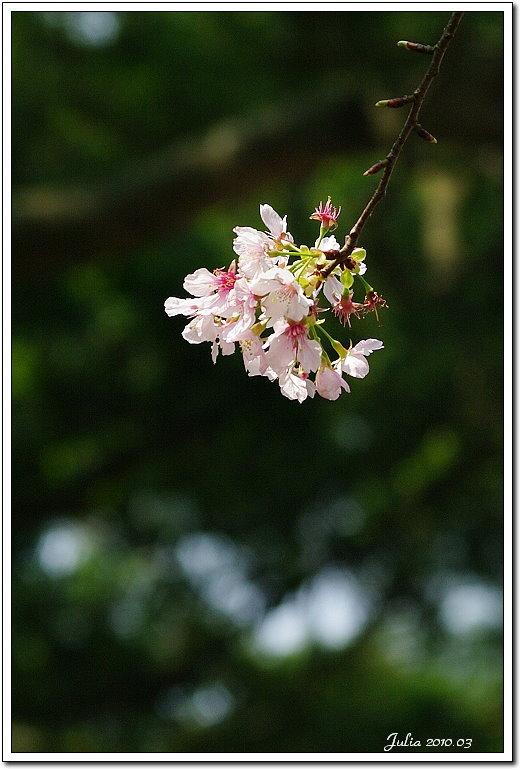 天元宮,櫻花 (7)