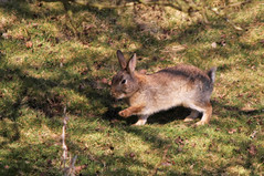 Nervous Rabbit ( And For Good Reason....) (Dan Belton ( No Badger Cull )) Tags: uk england rabbit river leicestershire wildlife stanford loughborough soar on