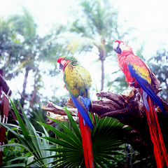 (gillianleigh) Tags: 120 6x6 film mexico tulum scan parrots xelha yashicamat prettybird wrongexposure