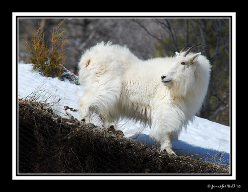 Mountain Goat, Wyoming 8803bfsg