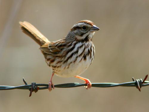 Song Sparrow 20100314