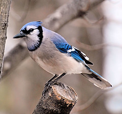 Blue Jay (Shanna-Marie) Tags: blue jay bluejay goldstarawardgoldmedalwinner residentnorthamerica