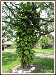 Large-leaved Epipremnum aureum 'Golden Pothos', scrambling up a huge tree