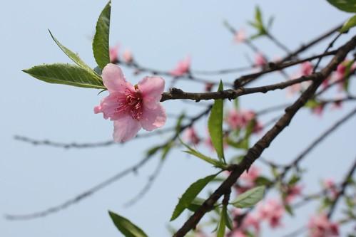 up peach blossom3