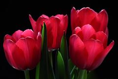 For Your Love (AnyMotion) Tags: flowers red plants rot floral colors colours blossom frankfurt pflanzen blumen tulip vase blte soe fa tulipa farben 2010 tulpe onblack naturesfinest anymotion fantasticflower canoneos5dmarkii natureselegantshots 5d2 ofpetalsandflowersgroup
