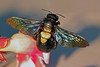 carpenter bee (sasithorn_s) Tags: friends flower macro nature garden insect bee carpenterbee potofgold apidae xylocopa supershot overtheexcellence betterthangood theperfectphotographer thelargestgroupintheworld