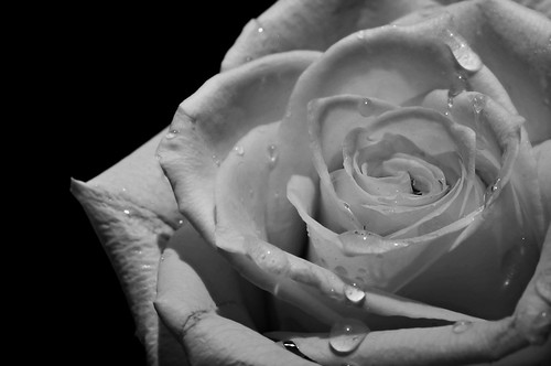 A Yellow Rose in Black and White