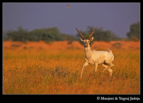 Leucistic Blackbuck