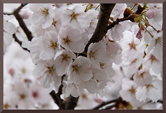 HADONG Cherry Blossom X (Flitze50) Tags: cherry spring blossom korea cherryblossom southkorea fruehling kirschbluete hadong hwagae