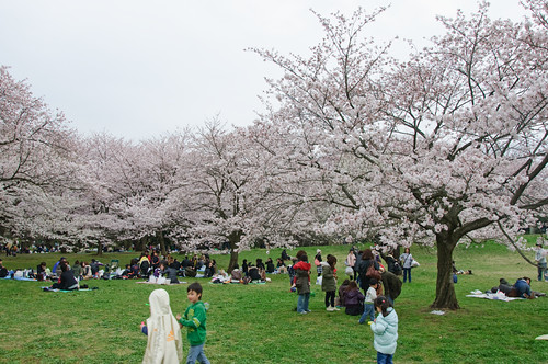under the sakura trees