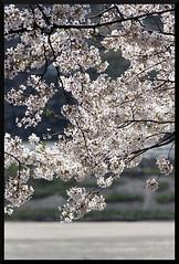 HADONG Cherry Blossom XI (Flitze50) Tags: cherry spring blossom korea cherryblossom southkorea fruehling kirschbluete hadong hwagae