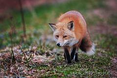Red Fox (Nikographer [Jon]) Tags: winter animal animals de lenstagged nikon december wildlife dec national bombay delaware hook nikkor 2009 refuge redfox nwr tnc 200400mm bombayhooknationalwildliferefuge d300s ed200400mmf4gifvr nikond300s 20091228d300s06291