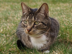Chillin' (Tabby Fan) Tags: 510fav outside chillin greeneyes hudson bestofcats browntabbywithwhitepaws boc0410