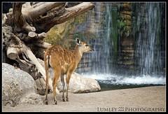 Cervatillo (Lumley_) Tags: españa fall water valencia animal rio lago spain agua nikon arboles vicente nikkor lumley vr 2010 ciervo cascada beber rubio d60 cervatillo salvaje 55200mm bioparc