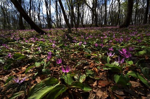201004178885紫じゅうたん_R