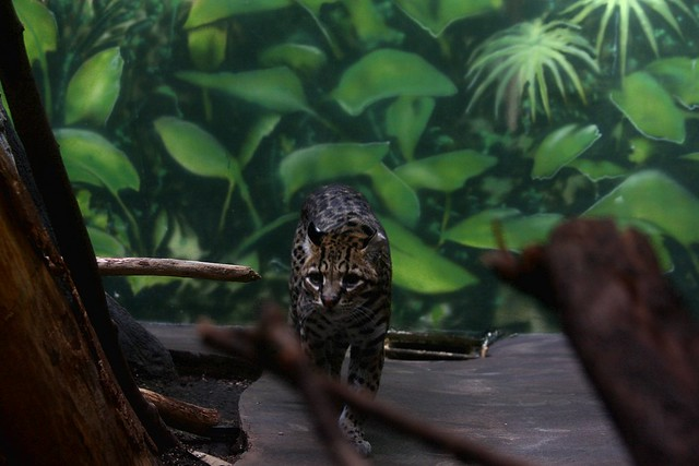 Ocelot, Oregon Zoo