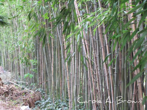 Invasive Bamboo