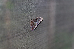 baudchon-baluchon-mindo-papillons-45