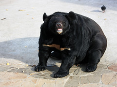 Ursus tibetanus (AnkhaiStenn) Tags: bear white zoo with russia moscow fat chest stripe russian himalayas himalayan ursus tibetanus
