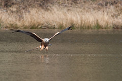 Concentration (Izzy Standbridge) Tags: water groundlevel redkite nantyrarian mywinners