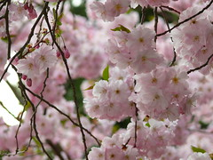 """""""Trenne dich nie von deinen Träumen. Wenn sie verschwunden sind, wirst du weiter existieren, aber aufgehört haben, zu leben."""" (Fingerhut und Ringelblume) Tags: pink spring blossom rosa marktwain frühling blüten zitat cmwdpink zierkirschen"""
