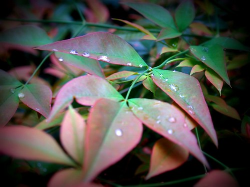 Nandina with Pearls