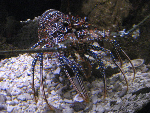4/27/10-NatlZoo, Spiny Lobster
