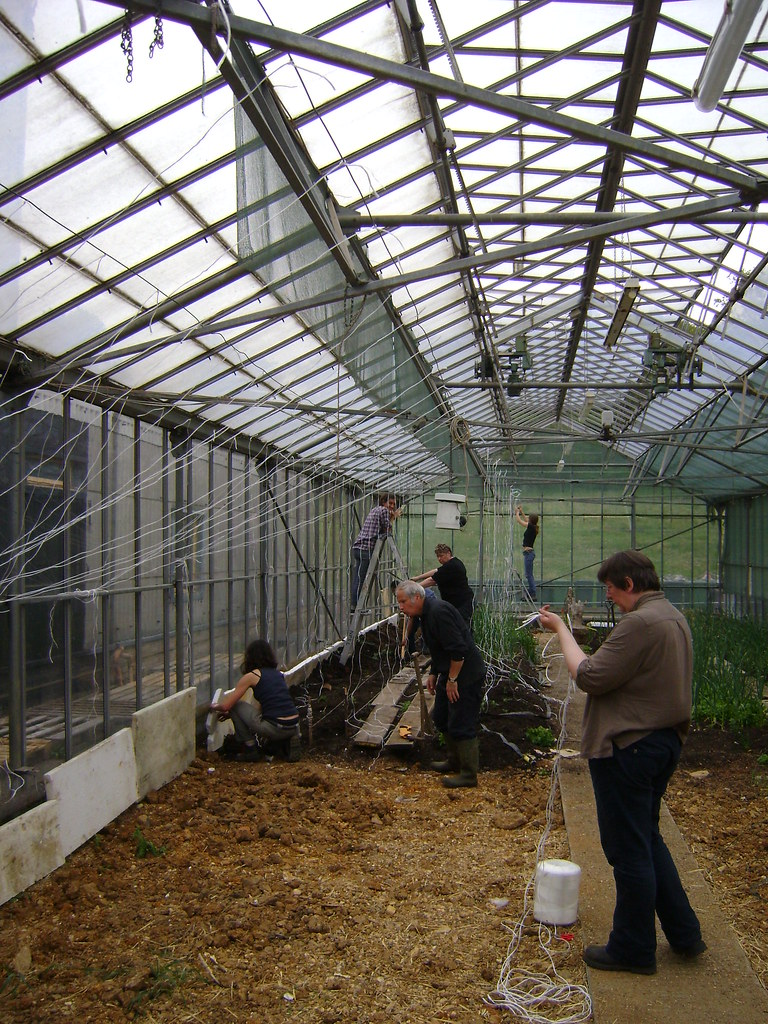 Volunteers and the tomato string