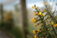My Favourite Mistake (patchworkbunny) Tags: fence bokeh mistake msh gorse msh041012 msh0410 tickyboxentry