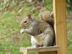 Grey Squirrel on bird table (Alex Staniforth: Wildlife/Nature Photography) Tags: alex grey squirrel wildlife casio staniforth exfh20