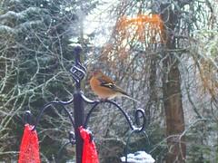 Chaffinch on a Bird Feeder (Dunnock_D) Tags: britain highland highlands kingussie winter snow bird feeder chaffinch finch tree uk unitedkingdom gb scotland