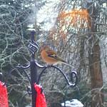 Chaffinch on a Bird Feeder thumbnail