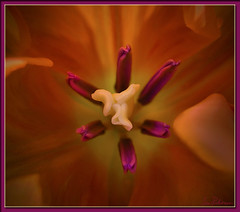 a Orange & Purple Tulip (jr.images) Tags: macro spring flora may tulip tulipa
