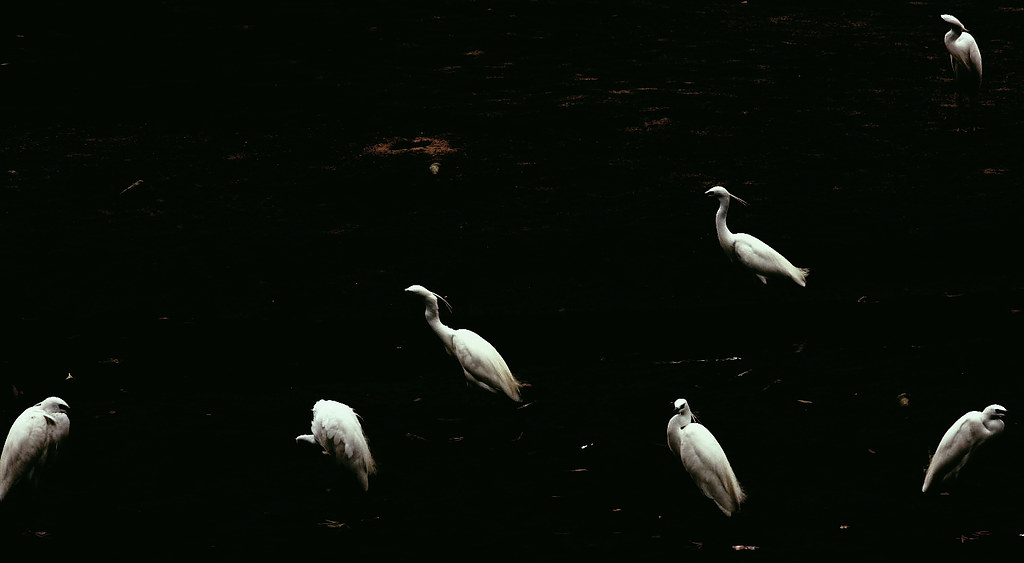 The Whiteness of Egrets
