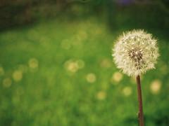 Dandelion ([mie]) Tags: macro pen 50mm olympus f2 ep1