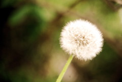 it's all memory in the sun (emily.claire.) Tags: dandelion wishingflower