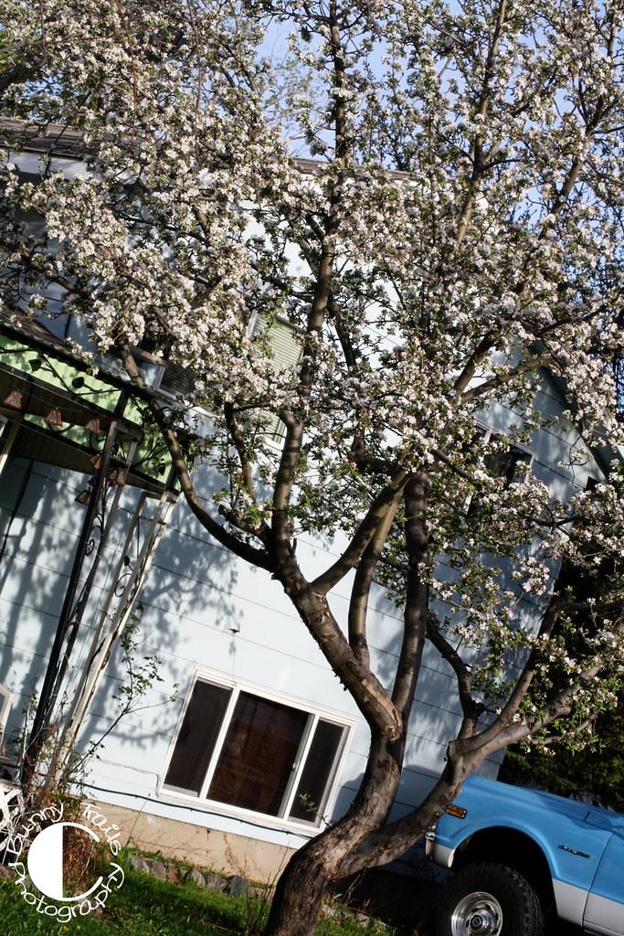 131-abundant blossoms 3