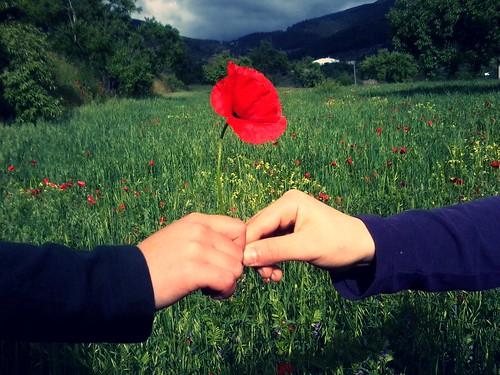 フリー写真素材|花・植物|ケシ科|人物|ボディーパーツ|手|ヒナゲシ|