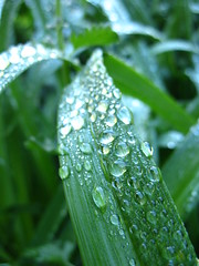 dew drops on daylily leaves