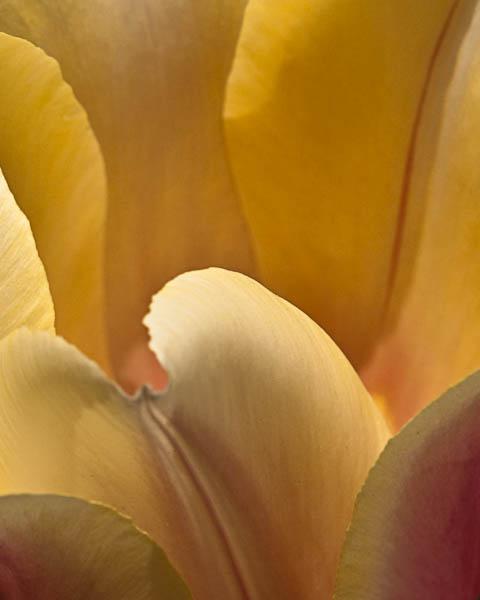 abstract macro photograph of pastel tulip